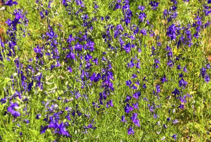 Ciemnoniebieskie kwiaty ostróżeczki polnej, a także pielęgnacji rośliny ostróżeczka polna, sadzenie, uprawa, pielęgnacja i podlewanie