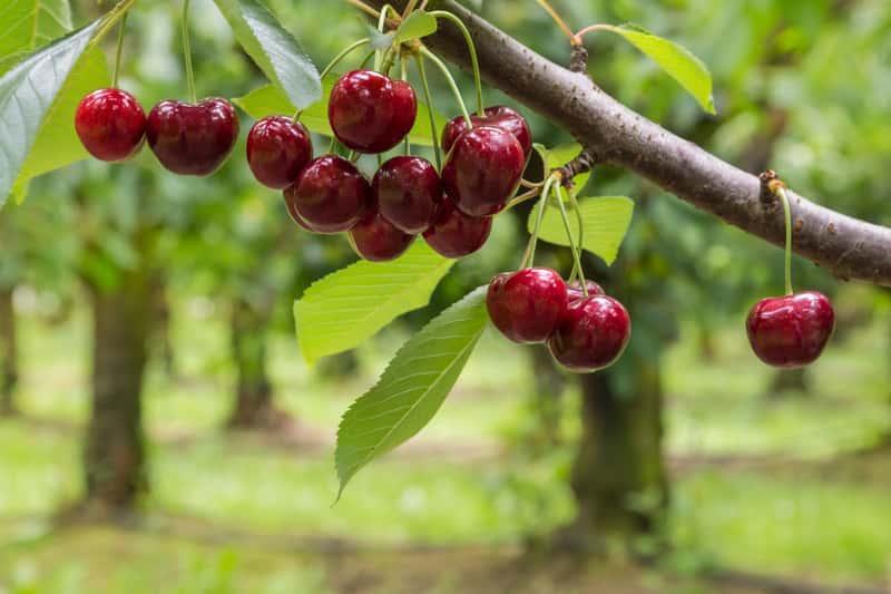 Dojrzałe owoce czereśni kordia na gałązce - warunki uprawy, stanowisko, sadzenie, pielegnacja oraz odmiany i gatunki czereśni
