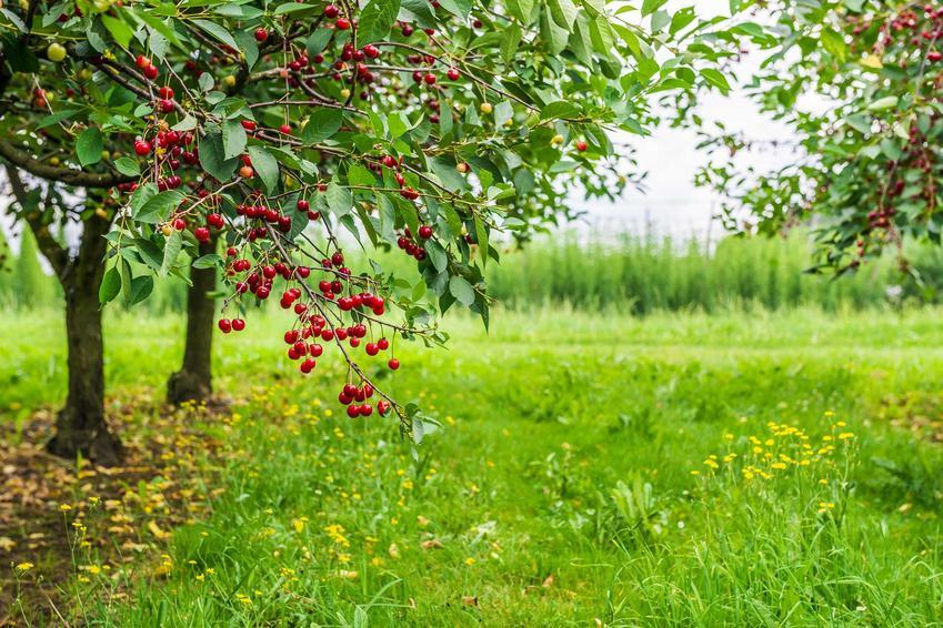 Czereśnia Burlat to jedna z odmian używanych w sadach. Odmiany mają bardzo smaczne, duże owoce, a jej pielęgnacja jest bardzo prosta