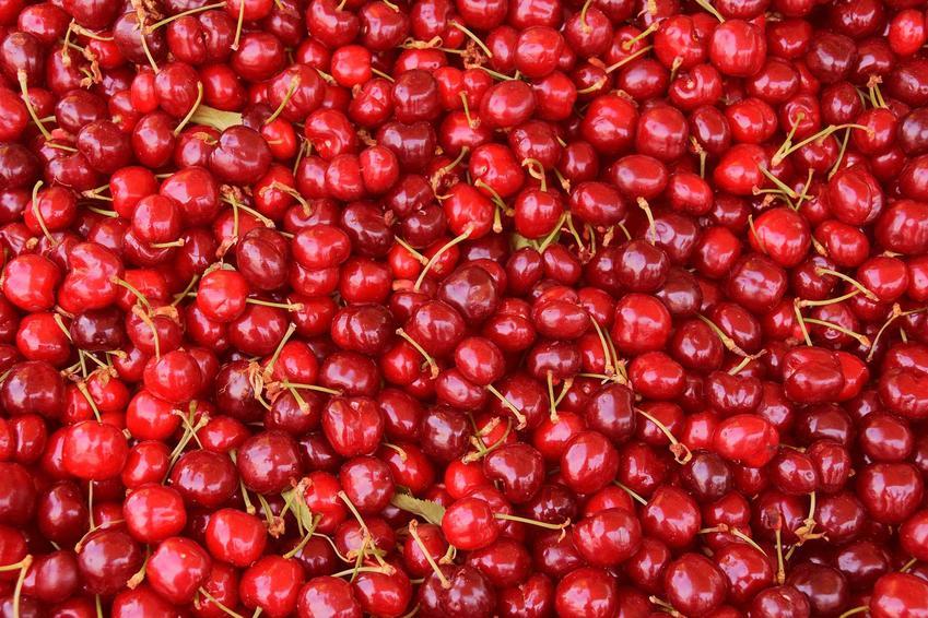Czereśnia Vega to najpopularniejsza odmiana. Jej owoce sa smaczne, słodkie i mają ciemnoczerwony kolor. Uprawa drzewka nie jest wymagająca.