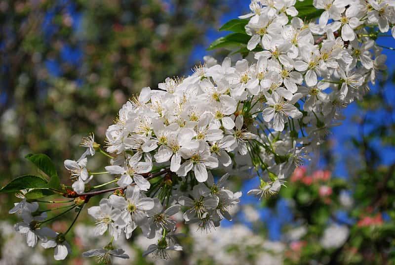 Drzewko czereśnia ptasia o delikatnych białych kwiatach, a także sadzenie, sadzonki, zastosowanie oraz uprawa w ogrodzie