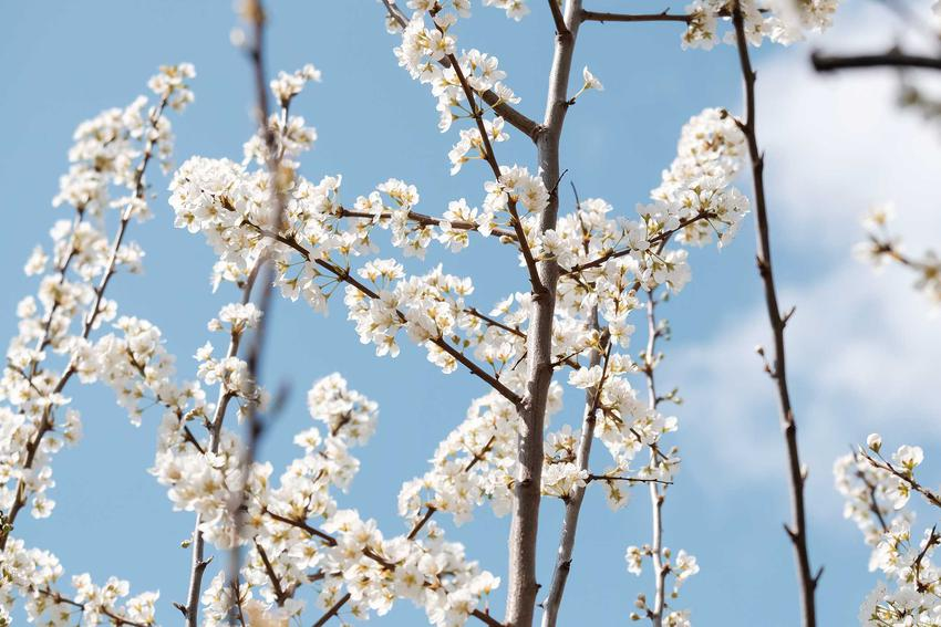 Czereśnia ptasia, czyli dzika wiśnia porasta rowy i zarośla. Można jednak uprawiać ją w domu, a pielęgnacja tego ładnego drzewka nie nastręcza problemów.