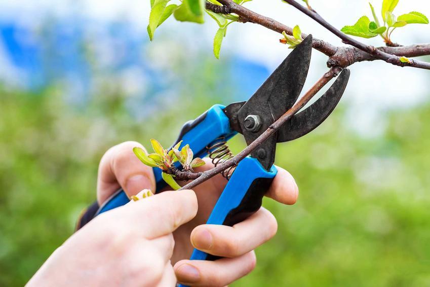 Prawidłowe przycinanie czereśni należy przeprowadzić za pomocą czystych i nowych narzędzi. Warto być bardzo dokładnym i przeprowadzić szybkie, czyste cięcie.