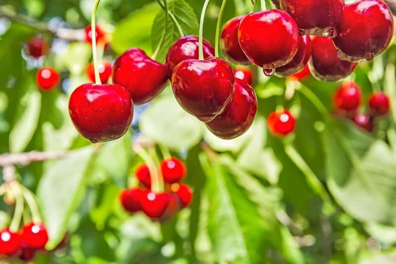 Czereśnia karłowata w ogrodzie, sadzenie, uprawa, pielęgnacja oraz sadzonki i porady dla ogrodników i hodowców
