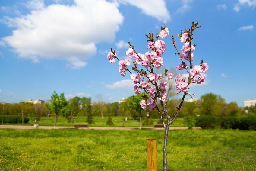 Czereśnia karłowata to niewysokie drzewka, które ładnie się prezentują w ogrodzie. Owocuje jak inne czereśnie, pielęgnacja także wygląda tak samo.