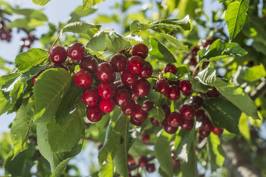 Czereśnia Rivan to jedna z najbardziej popularnych odmian. Jej uprawa i pielęgnacja nie są trudne, a przycinanie drzewek wystarczy przeprowadzic dwa razy w roku.