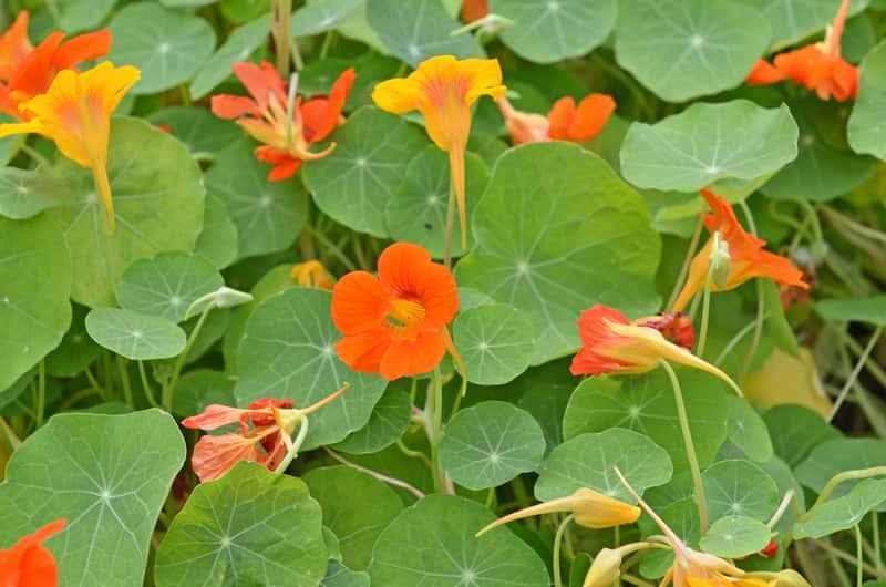 Nasturcja pnąca o żółtych i pomarańczowych kwiatach, oraz wysiew, uprawa, pielęgnacja i najlepsze stanowisko w ogrodzie i na balkonie