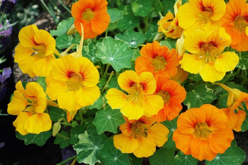 Nasturcja większa to jedna z najpiękniejszych odmian. Pielęgnacja na balkonie lub w ogrodzie nie jest wymagająca, kwiaty mają zastosowanie w kuchni.