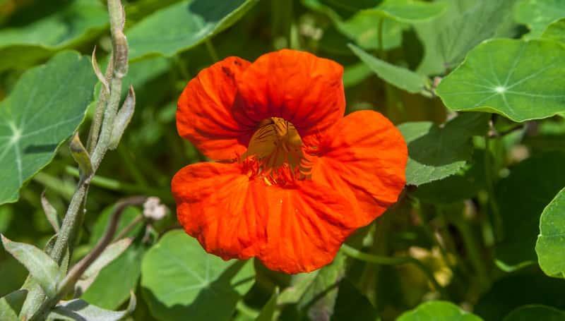 Nasturcja większa o pomarańczowych kwiatach w czasie kwitnienia, a także wymagania, sadzenie, pielęgnacja oraz uprawa