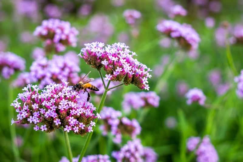 Miodadajny kwiat werbeny pospolitej, czy też werbeny lekarskiej - uprawa, wymagania, właściwości lecznicze i działanie - porady