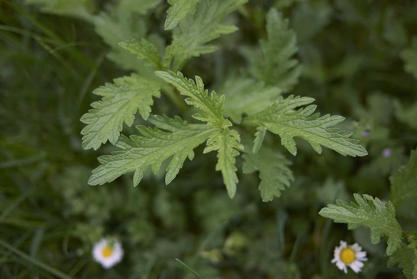 Werbena pospolita to bardzo ładna roślina o działaniu leczniczym. Właściwości lecznicze są w tym wypadku bardzo szerokie.