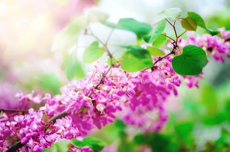 Judaszowiec południowy kwitnący na fioletowo, a także informacje o roślinie, pielęgnacja, sadzenie, uprawa i podlewanie