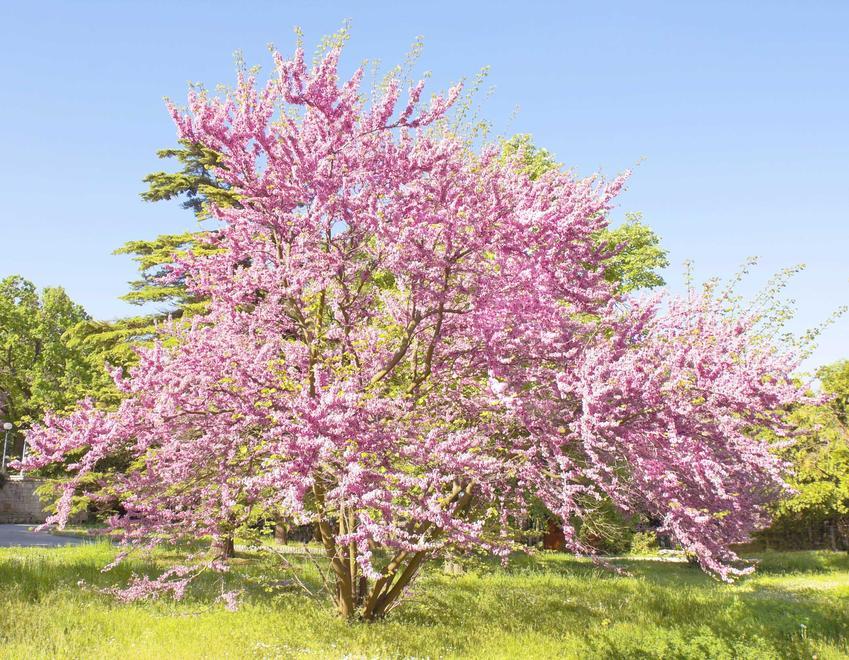 Judaszowiec południowy to jeden z najpiękniejszych drzewek ozdobnych. Kwitnienie przez całą wiosnę to najlepsza ozdoba ogrodu.