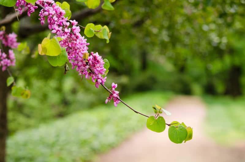 Judaszowiec płaczący o drobnych fioletowych kwiatach, a także sadzenie, pielęgnacja, uprawa oraz podlewanie i wymagania rośliny