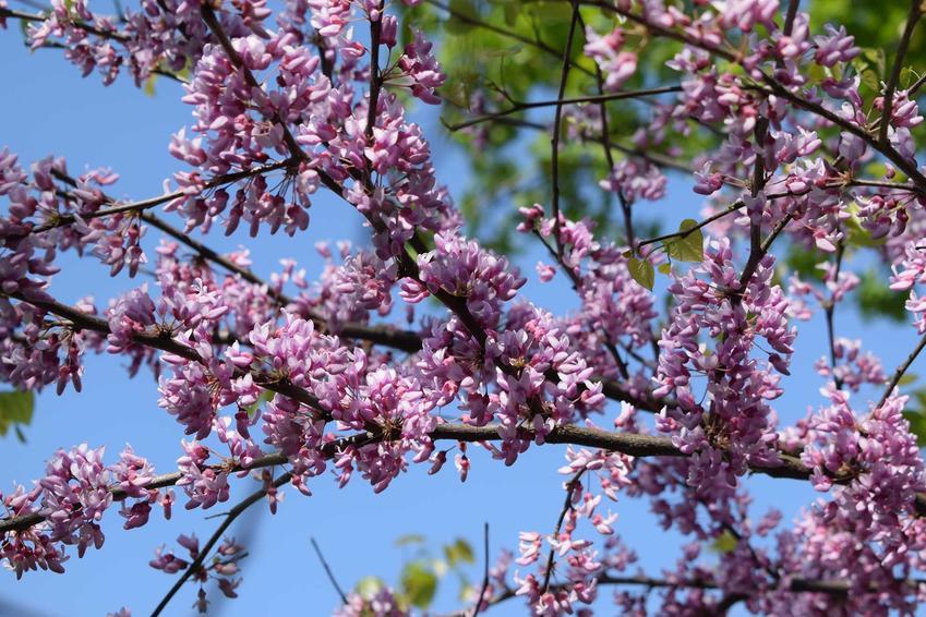 Judaszowiec płaczący to najpiękniejszy krzew, który można uprawiać w ogrodzie. Sadzenie i uprawa nie są wymagające, pielęgnacja nie sprawia problemów.