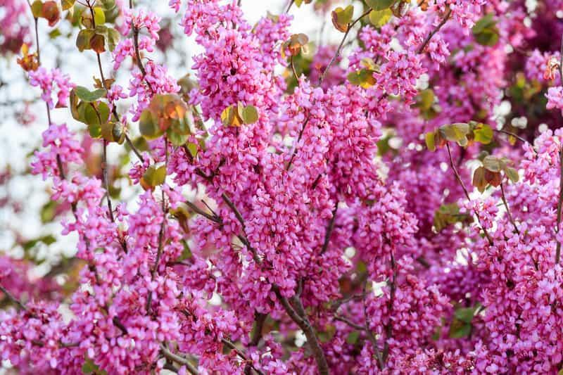 Kwitnący krzew judaszowca wschodniego, czyli Cercis siliquastrum - sadzenie z nasion, stanowisko, warunki uprawy oraz pielęgnacja