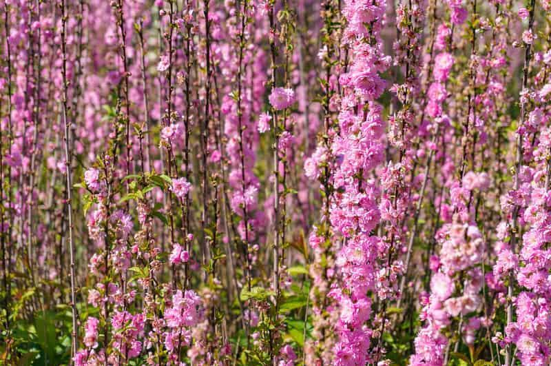 Gałązka oblepiona kwiatami w różowym kolorze, a także judaszowiec chiński krok po kroku, sadzenie, pielęgnacja i podlewanie