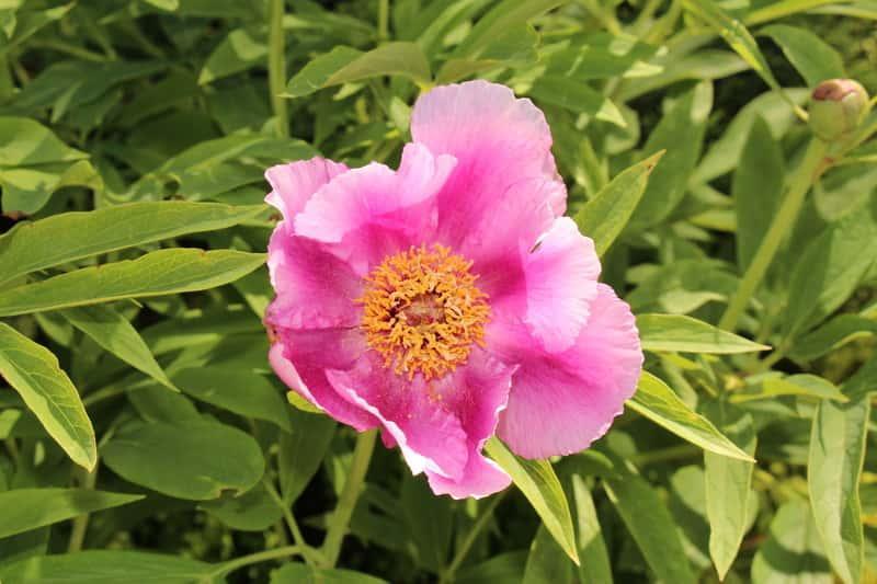 Kwiat piwonii lekarskiej, paeonia officinalis - stanowisko, wymagania, sadzenie, pielęgnacjia oraz właściwości lecznicze i zastosowanie
