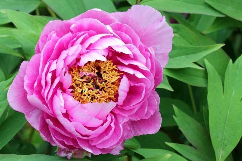 Kwiat piwonii, czyli pielęgnacja, sadzenie, rozmnażanie, stanowisko i warunki wzrostu oraz przesadzanie byliny