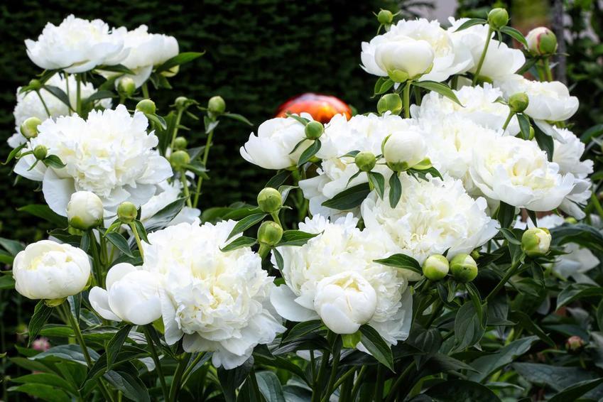 Piwonia biała ma przepiękne kwiaty. Na dodatek korzeń powonii ma bardzo dużo właściwości leczniczych i ma szerokie zastosowanie w medycynie ludowej.