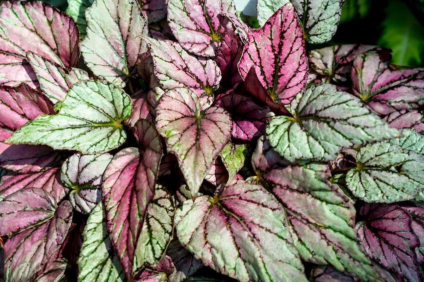 Begonia królewska wyróżnia się przepięknymi liśćmi, które zachwycają kolorystyką i wyraźnym wzorem. Pielęgnacja i podelwanie rośliny nie są zbyt wymagające.