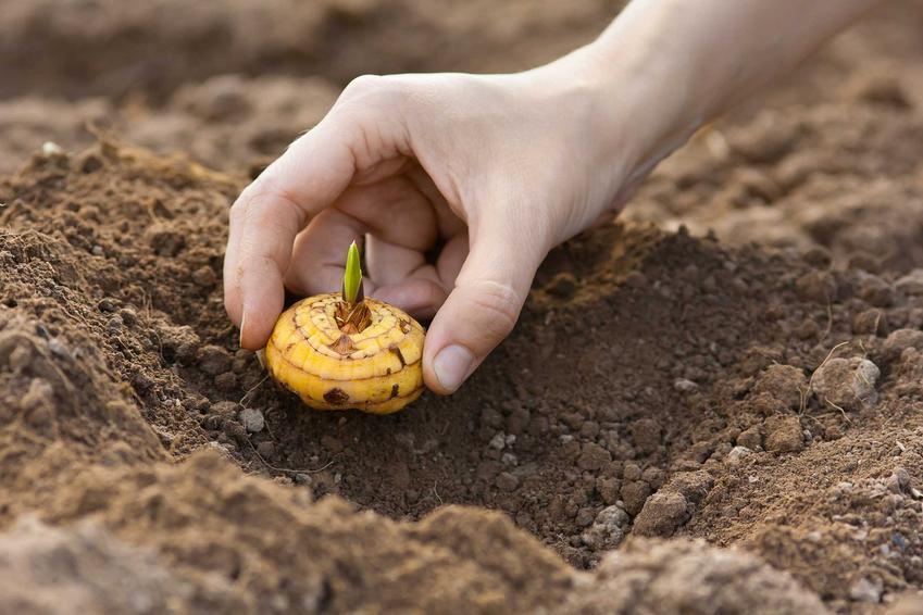 Sadzenie gladioli, czyli mieczyków, polega na umieszczeniu ich płaskich cebul w przygotowanym wczesniej podłożu. Cebule muszą być chronione przed chorobami.