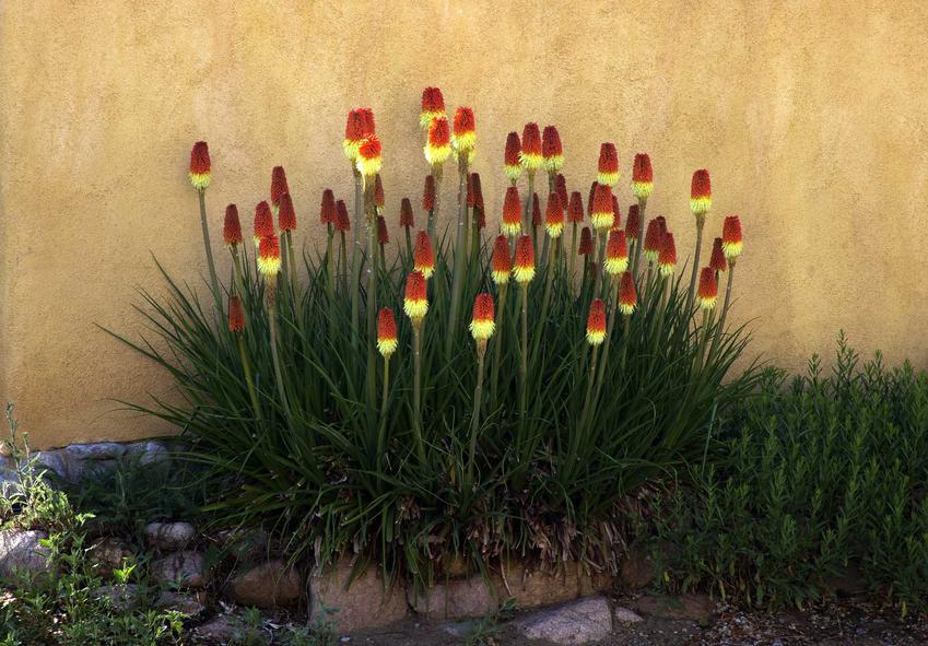 Trytoma groniasta w ogrodzie bardzo ładnie wygląda, wspaniale prezentuje się na tle ściany. Uprawa i pielęgnacja nie jest trudna, ale roślina potrzebuje uwagi