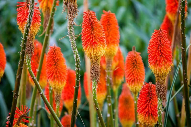 Trytoma groniasta w ogrodzie, a także sadzenie, pielęgnacja cena sadzonek i uprawa krok po kroku na rabacie