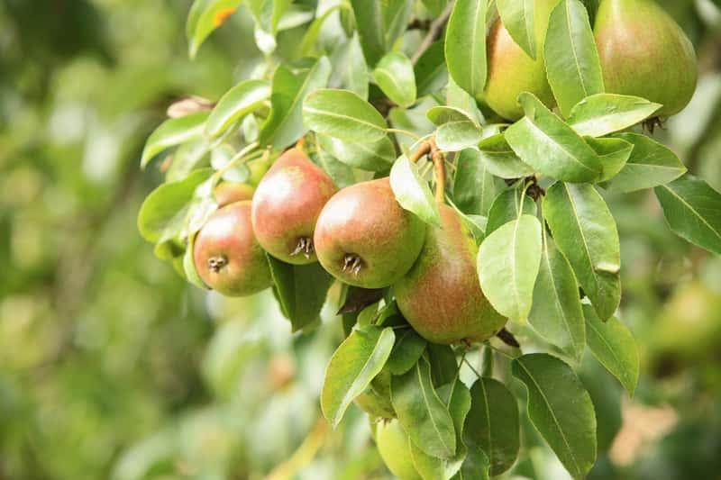 Grusza Faworytka na drzewie w ogrodzie, a także sadzenie, pielęgnacja, uprawa, wymagania oraz opis odmiany
