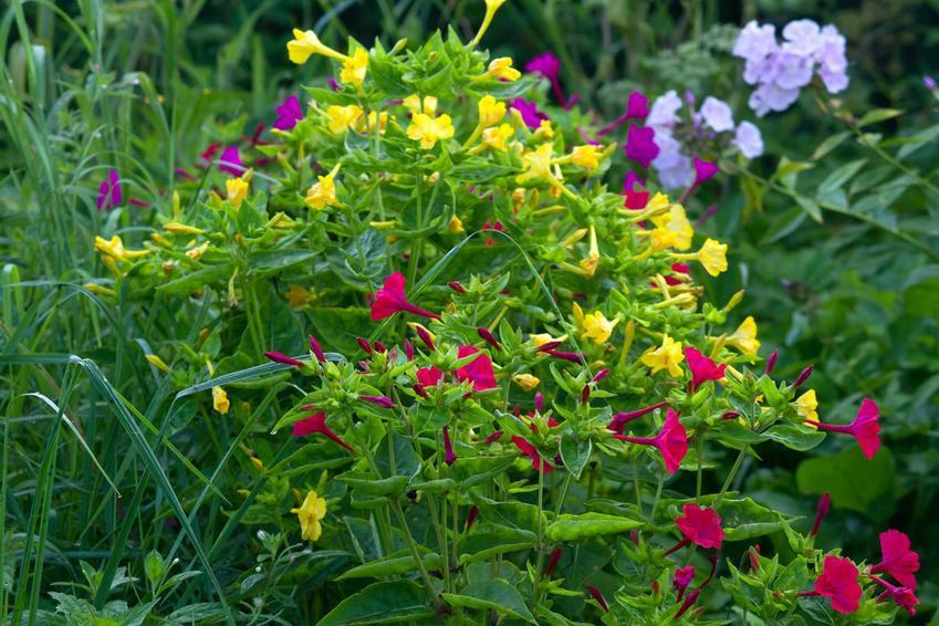 Dziwaczek jalapa to bardzo popularna roślina, która świetnie sprawdza się w ogrodzie. Piękne, kolorowe kwiaty przepięknie wygladają na sporej wielkości krzewinkach.