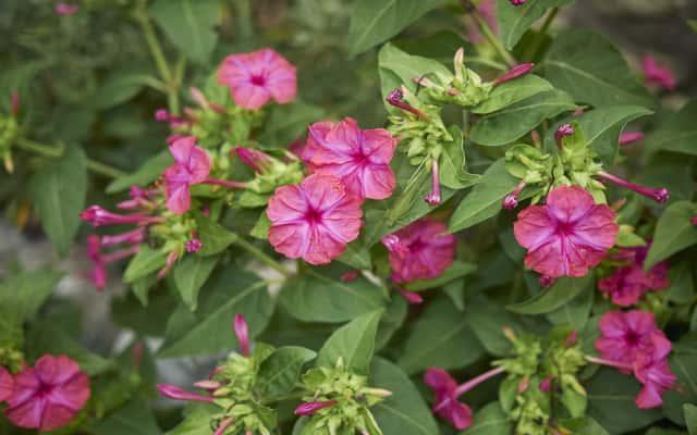 Dziwaczek jalapa w ogrodzie a także sadzenie, uprawa, pielegnacja i podlewanie oraz nawożenie krok po kroku