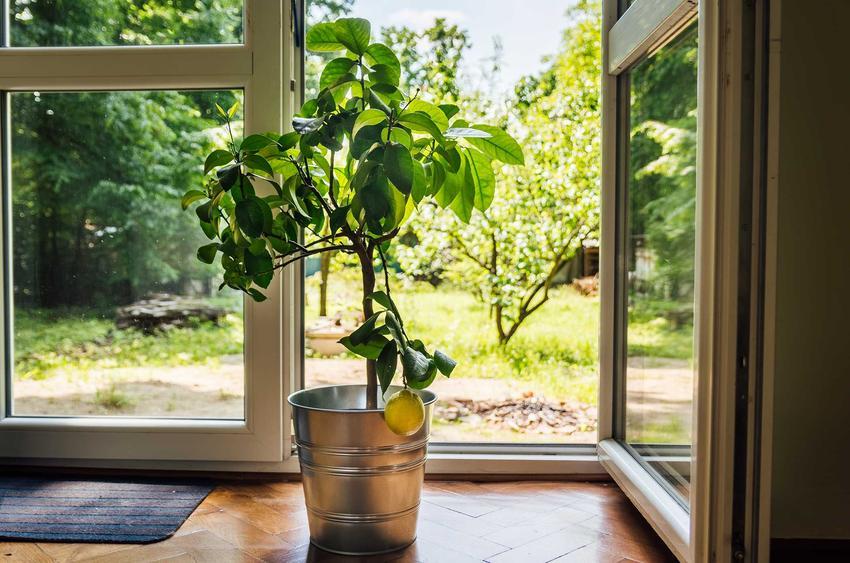 Drzewko cytrynowe i inne cytrusy w doniczkach przepięknie wyglądają. Nie mają wielkich wymagań uprawnych, ale potrzebują specjalistycznej pielęgnacji i podłoża.