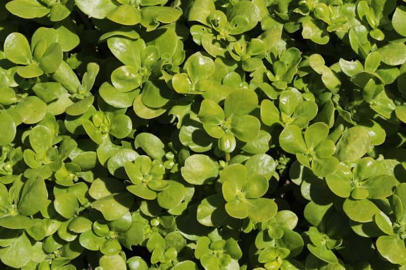 Portulaka warzywna, właściwie portulaka posplita, z łac. Portulaca oleacera - uprawa, stanowisko, wymagania, sadzenie, zastosowanie - porady