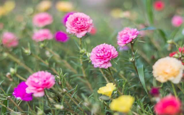 Portulaka wielkokwiatowa o kolorowych kwiatach rosnąca w ogrodzie, a także sadzenie, pielęgnacja, uprawa i podlewanie