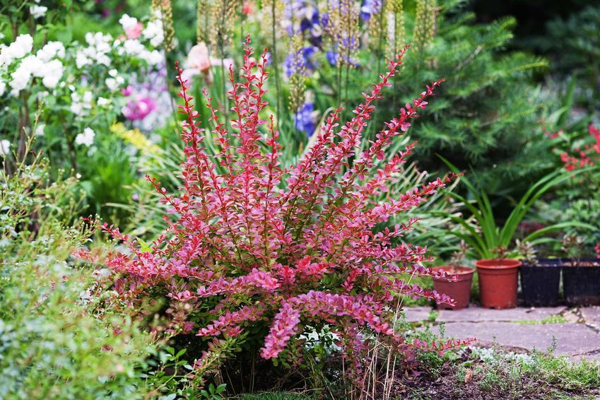 Berberys Thunberga o ciemnoczerownych kwiatach ładnie wygląda. Można uprawiać go w ogrodzie, a pielęgnacja nie jest szczególnie wymagająca.