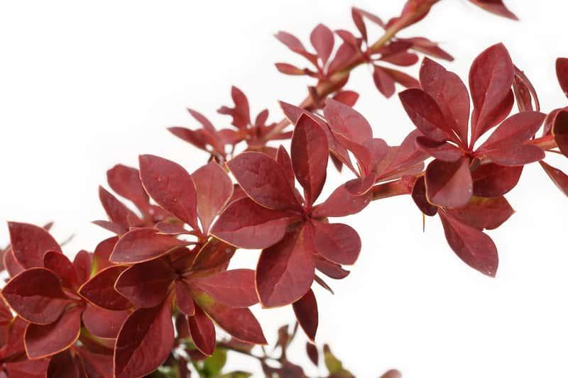 Czerwone listki berberysu Thunberga, a także informacje: sadzenie, uprawa, pielęgnacja, rozmnażanie, wymagania