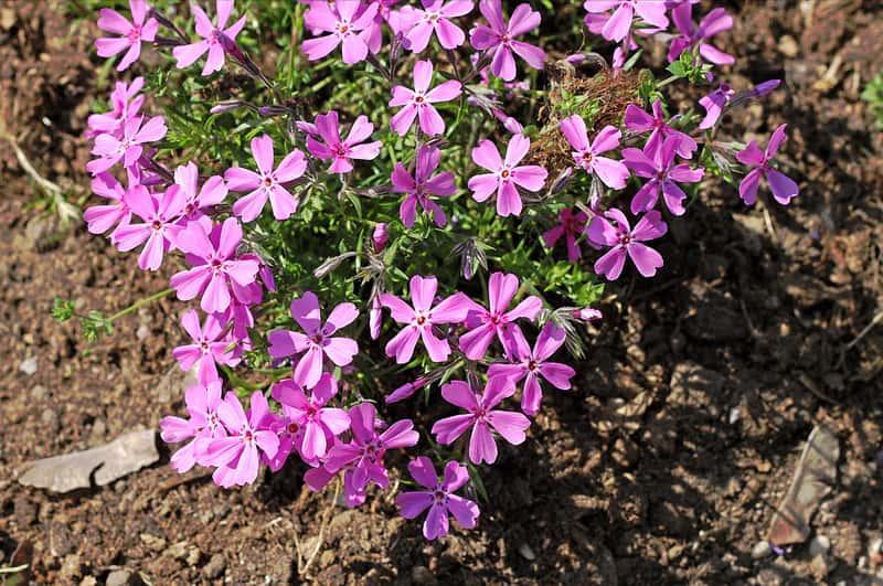 Floksy płożące o fioletowych kwiatach, a także odmiany, uprawa, pielęgnacja, porady co do sadzenia i wymagania