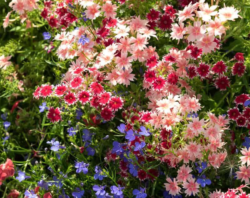 Różowe kwiaty floksu durmmonda w ogrodzie, a także sadzenie, pielęgnacja, uprawa, podlewanie rośliny oraz charakterystyka