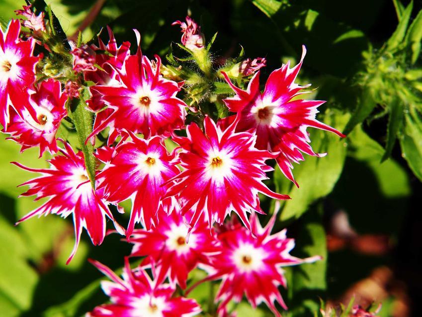 Floks Drummonda to jeden z najpiękniejszych kwiatów ogrodowych. Jest niewysoki i jednoroczny, wymaga regularnego podlewania.