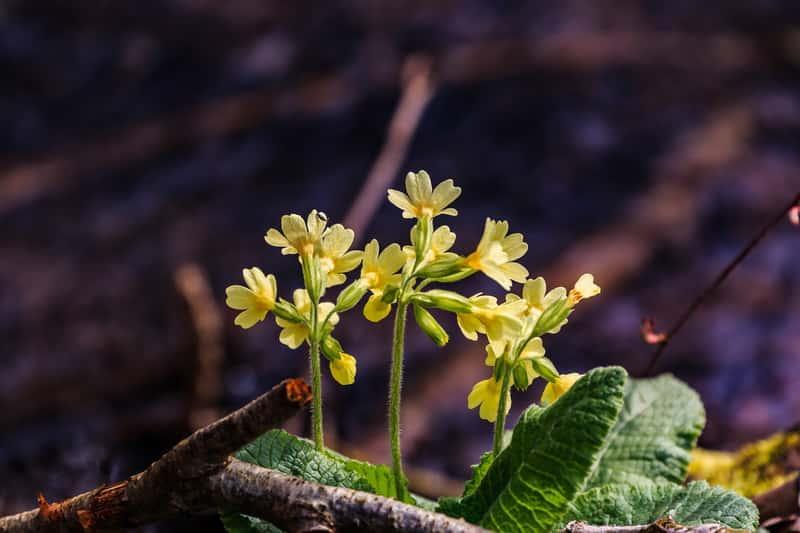 Delikatne żółte kwiaty pierwiosnka lekarskiego, a także sadzenie, pielęgnacja, zastosowanie oraz wymagania tej rośliny krok po kroku