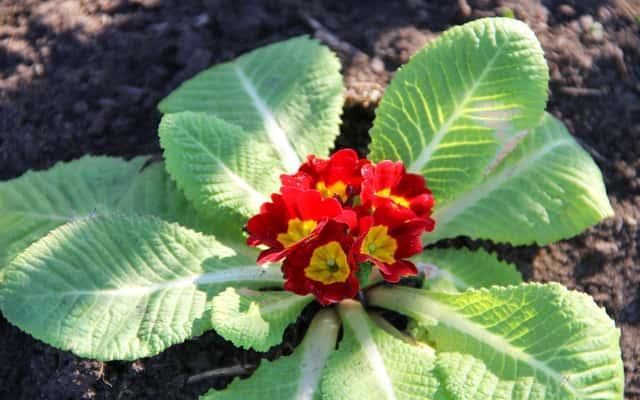 Pierwiosnek bezłodygowy o czerwonych kwiatach, a także sadzenie, pielęgnacja, przesadzanie, uprawa w ogrodzie i w doniczce