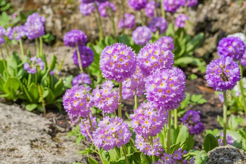 Pierwiosnek ząbkowany o ładnych, fioletowych kwiatach dobrze sprawdza się w ogordzie. Jego uprawa nie jest wymagająca, a roślina nie ma wysokich cen