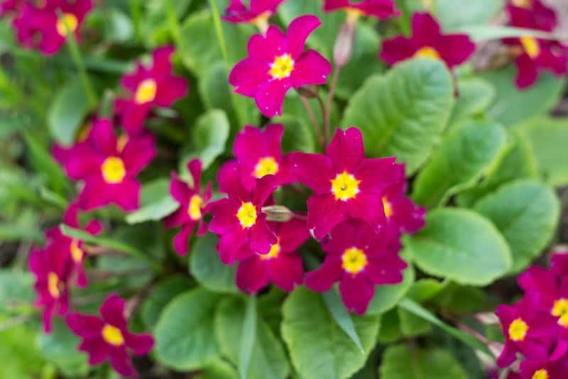 Purpurowe kwiaty pierwiosnka kubkowego wczesną wiosną, sadzenie, pielęgnacja, podlewanie, zastosowanie