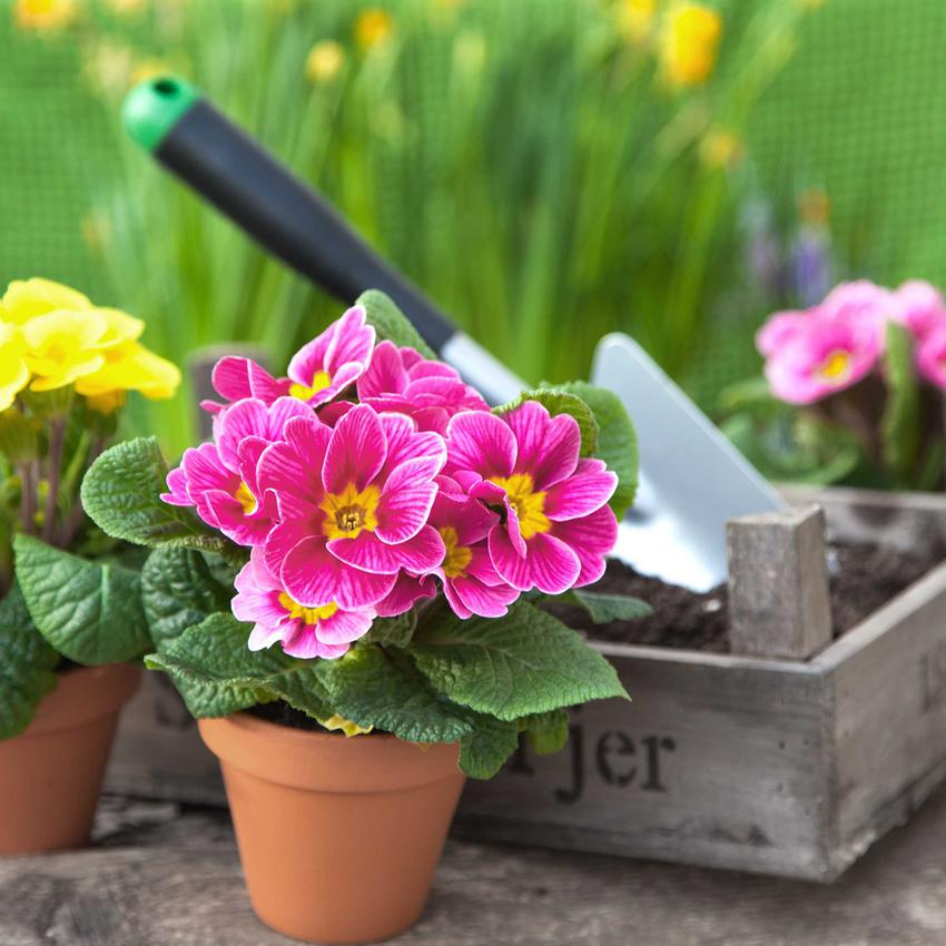 Pierwiosnek Łyszczak to jedna z najpiękniejszych roślin, których sadzenie można przeprowadzić w domu. Nadają się do ogrodu i są łatwe w pielęgnacji.