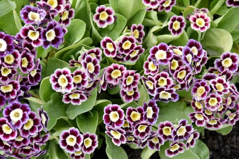 Ciekawe kwiaty pierwiosnka omszałego, czy też pierwiosnek łyszczak, z łac. Primula auricula - warunki uprawy, sadzenie, stanowisko, pielęgnacja - porady