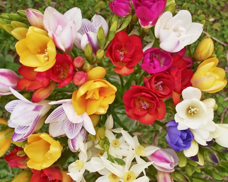 Barwna kompozycja frezji ogrodowej, warunki uprawy, wymagania, stanowisko, pielęgnacja frezji w ogrodzie i doniczkach oraz wykorzystanie frezji