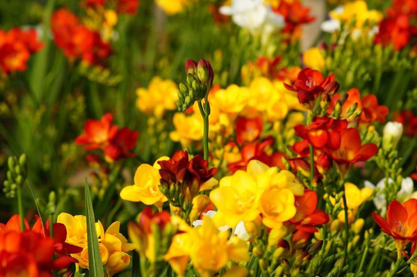 Frezje to znane rośliny na bukiety, jednakże ich pielęgnacja i uprawa w ogrodzie także się udaje. Wymagania siedliskowe gatunku nie są zbyt wysokie.