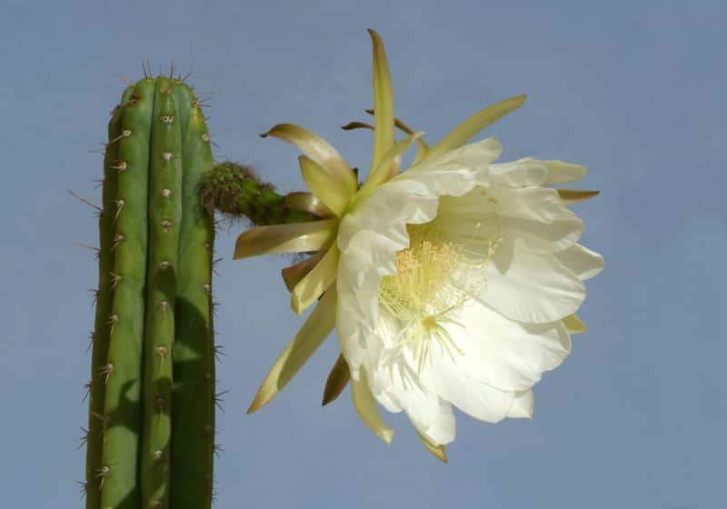 Kaktus San Pedro w czasie kwitnienia, a także uprawa rośliny na parapecie, rozmnażanie, pielęgnacja oraz kontrowersje