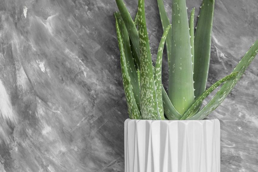 Aloes wielkolistny w doniczce na parapecie to nie tylko ozdoba. Uprawa rośliny nie jest wymagająca, a jego liście mogą posłużyć do zabiegów pielęgnacyjnych