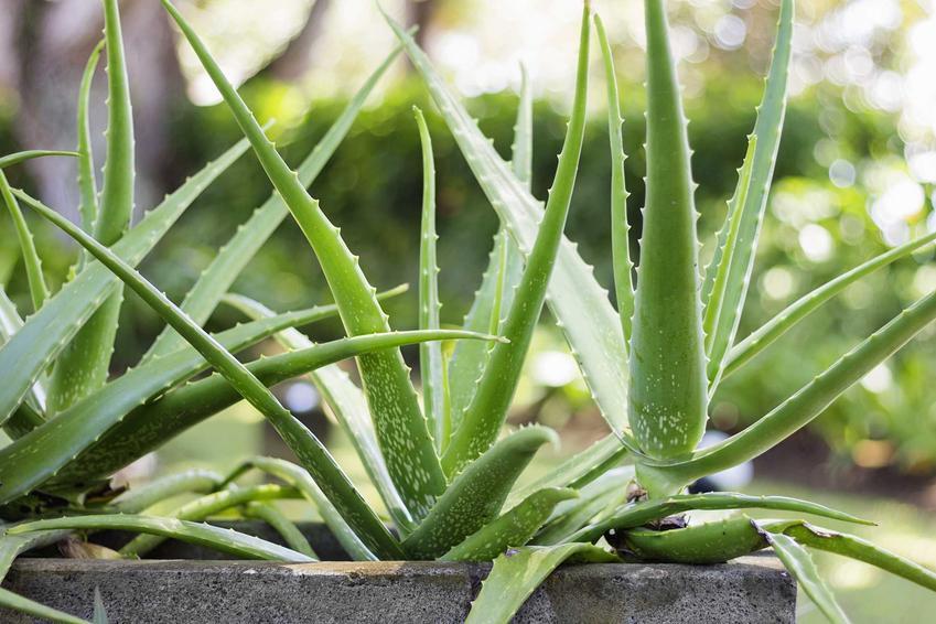 Aloes uzbrojony to jedna z najpiękniejszych roślin leczniczych. Dobrze wygląda w doniczce na parapecie, jego uprawa nie jest wymagająca.